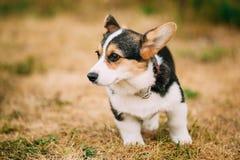 关闭幼小愉快的小狗威尔士小狗画象  免版税库存图片