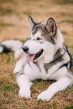 关闭幼小愉快的阿拉斯加的爱斯基摩狗画象  免版税库存图片