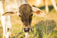 关闭幼小母牛头在农业领域的 免版税库存图片