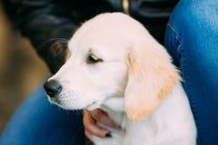 关闭幼小白色拉布拉多狗小狗 库存图片
