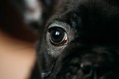 关闭幼小黑法国牛头犬狗小狗的眼睛 滑稽的狗 库存图片
