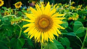 关闭开花在向日葵庭院背景中的黄色向日葵 图库摄影