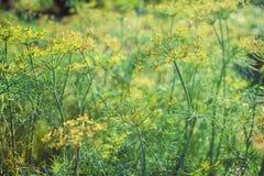 关闭开花在夏天庭院里的莳萝 图库摄影