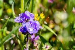 关闭开花在春天,加利福尼亚的加利福尼亚Gilia野花 库存图片