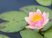 关闭开花在池塘的黄色桃红色莲花或荷花花 库存照片