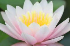关闭开花在池塘,泰国的黄色桃红色莲花或荷花花 库存照片