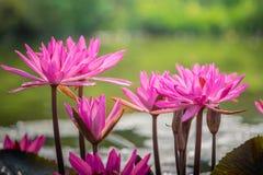 关闭开花或在池塘的小组美丽的桃红色莲花荷花花在天在早晨 免版税库存照片