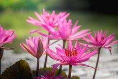 关闭开花或在池塘的小组美丽的桃红色莲花荷花花在天在早晨 图库摄影