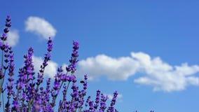 关闭开花淡紫色 芳香域草本横向淡紫色工厂 蓝天和云彩在背景在软的焦点 熏衣草属花 股票录像