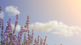 关闭开花淡紫色 芳香域草本横向淡紫色工厂 蓝天和云彩在背景在软的焦点 熏衣草属花 股票视频