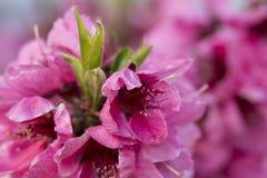 关闭开花的桃子桃红色花 库存图片