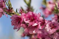 关闭开花的桃子桃红色花 免版税库存照片