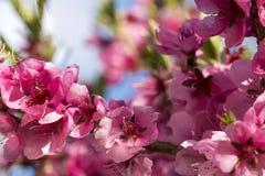关闭开花的桃子桃红色花 图库摄影