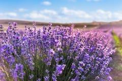 关闭开花的淡紫色花在蓝色夏天天空和太阳光芒下 库存照片