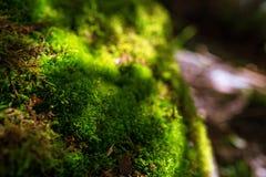 关闭开花的绿色青苔 免版税库存照片