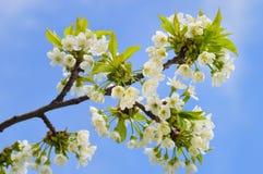 关闭开花的野黑樱桃 免版税库存图片