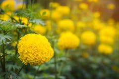 关闭开花的黄色金盏草生长庭院 库存图片