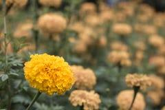 关闭开花的黄色金盏草生长庭院 库存照片