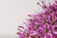 关闭开花的紫色葱属,在白色隔绝的葱花 库存图片