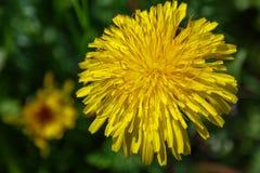 关闭开花的黄色蒲公英花在春天的庭院里 库存图片