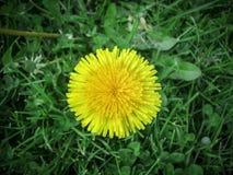 关闭开花的黄色蒲公英花& x28; 蒲公英officina 免版税图库摄影