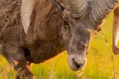 关闭弯下来的大角野绵羊吃草 免版税库存图片