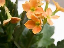 关闭强烈的桔子, Kalanchoe blossfeldiana美丽的花  免版税库存图片