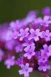 关闭微小的马鞭草属植物Bonariensis花 库存照片