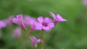 关闭微风吹的紫色花摇动 在紫罗兰色绽放的选择聚焦,浅DOF E 影视素材