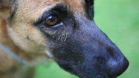关闭德国牧羊犬小狗的眼睛和鼻子 股票录像