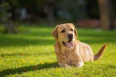 关闭愉快的拉布拉多猎犬狗的画象在绿色草坪的在公园 库存照片