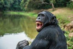 关闭成人倭黑猩猩画象与开放嘴的 库存照片