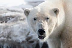 关闭成年男性北极熊,斯瓦尔巴特群岛 库存图片