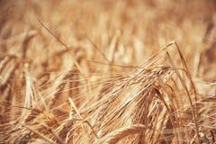 关闭成熟在领域的黄色大麦耳朵在夏时 金黄大麦大麦属vulgare小尖峰细节  收获富有 库存照片