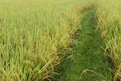 关闭成熟的米 免版税库存照片