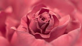 关闭打开的桃红色玫瑰