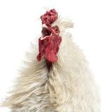 关闭打鸣一只卷曲用羽毛装饰的雄鸡,隔绝 免版税库存照片
