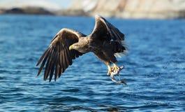 关闭抓鱼的一只白被盯梢的海鹰 免版税库存图片