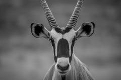 关闭担任主角在照相机的大羚羊 免版税库存照片