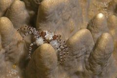 关闭拳击手螃蟹的图象 库存照片