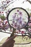 关闭拿着在一朵樱花的年轻男孩手一个放大镜在公园春天 库存照片