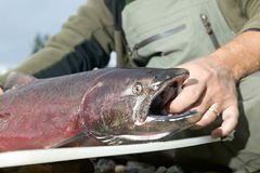 关闭拿着大马哈鱼的渔夫 免版税库存照片