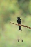 关闭拿着branc的更加伟大的球拍被盯梢的燕卷尾 库存图片
