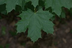 关闭挪威枫树叶子,显示细节 图库摄影