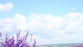 关闭掀动被射击淡紫色花 在背景的淡紫色领域在软的焦点 摇摆在的熏衣草属花 影视素材