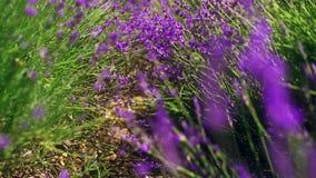 关闭掀动被射击淡紫色花 淡紫色领域在克里米亚 熏衣草属开花摇摆在日出的风 影视素材