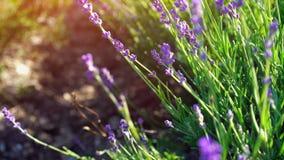 关闭掀动被射击淡紫色花 在背景的淡紫色领域在软的焦点 摇摆在的熏衣草属花 股票视频