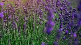关闭掀动被射击淡紫色花 淡紫色领域在克里米亚 熏衣草属开花摇摆在日出的风 股票视频