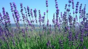 关闭掀动被射击淡紫色花 淡紫色领域在克里米亚 熏衣草属开花摇摆在日出的风 股票录像