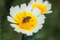 关闭授粉一朵白黄色雏菊的工蜂在春天期间 库存图片